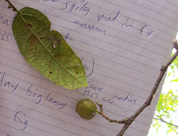 Bush Tucker Plant Foods - Ficus coronata - Sandpaper Fig