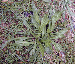 Edible Weeds - Plantago - Plantains