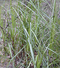 Bush Tucker Plant Foods - Gahnia - Swordgrass