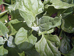 Bush Tucker Plant Foods - Tetragonia Tetragonoides - New Zealand Spinach