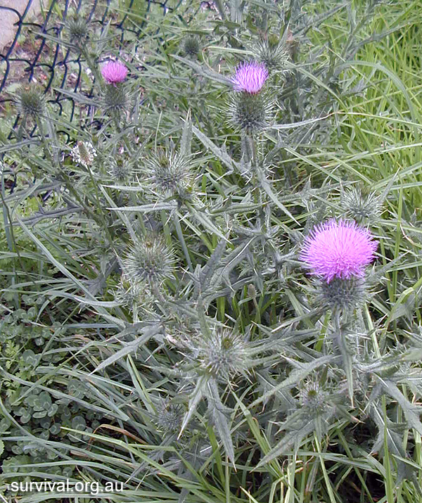 Cirsium vulgare - Spear Thistle - Bush Tucker Plant Foods