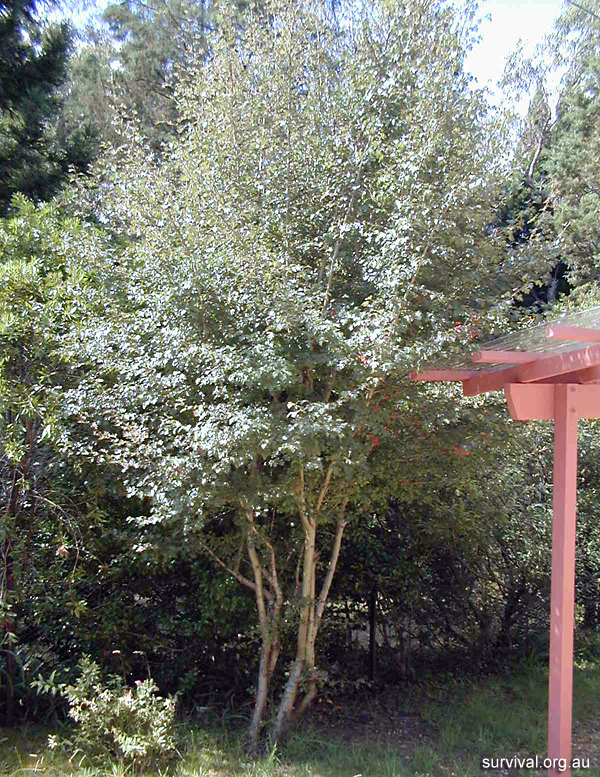 Crataegus monogyna - Hawthorn - Edible Weeds and Bush Tucker Plant Foods
