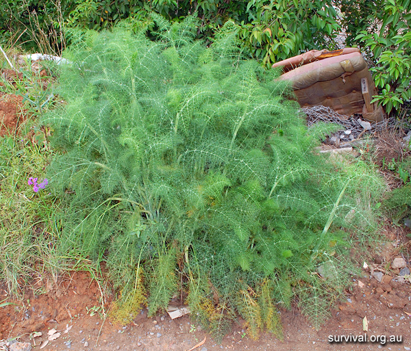 Foeniculum vulgare - Fennel - Edible Weeds and Bush Tucker Plant Foods