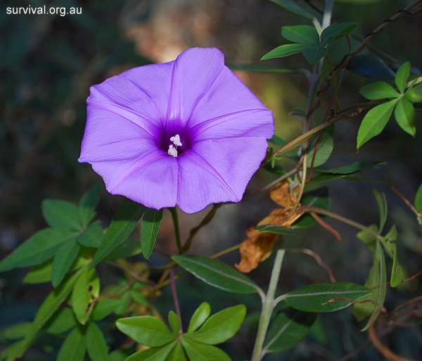 Ipomoea cairica - Coastal Morning Glory - Edible Weeds and Bush Tucker Plant Foods