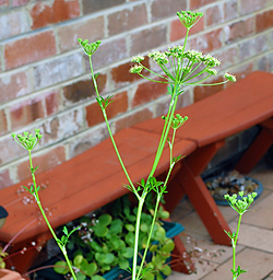 Edible Weeds - Petroselinum crispum - Wild Parsley