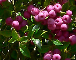 Bush Tucker Plant Foods - Syzygium smithii - Acmena smithii - Common Lilly Pilly