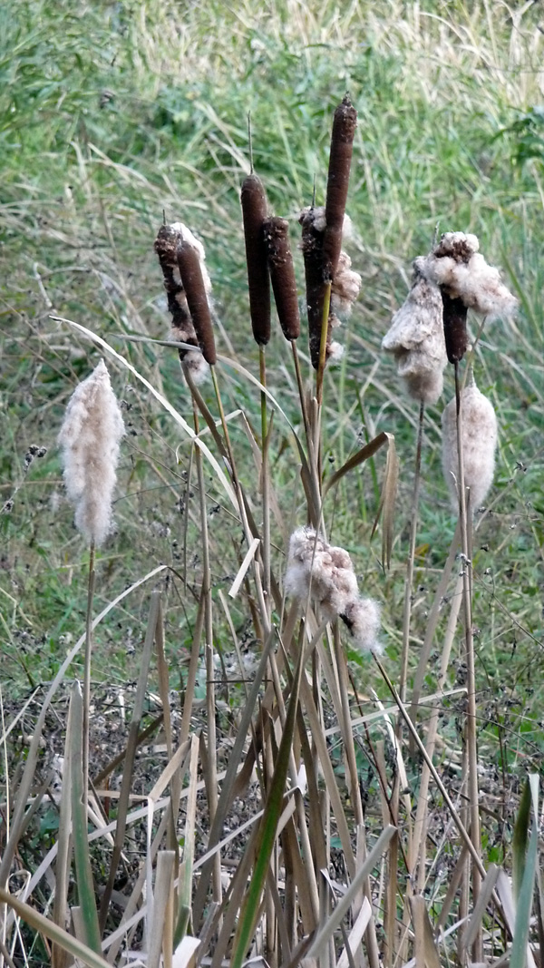 Typha - Bulrush / Cattails