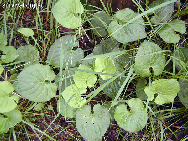 Viola odorata - Sweet Violet - Edible Weeds and Bush Tucker Plant Foods