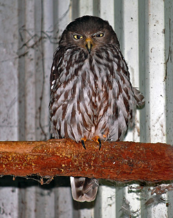 Bird Identification of Australian Birds - Sydney and Blue Mountains Bird Species - Barking Owl - Ninox connivens