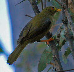 Bird Identification of Australian Birds - Sydney and Blue Mountains Bird Species - Bell Miner - Bellbird - Bell Bird - Manorina melanophrys