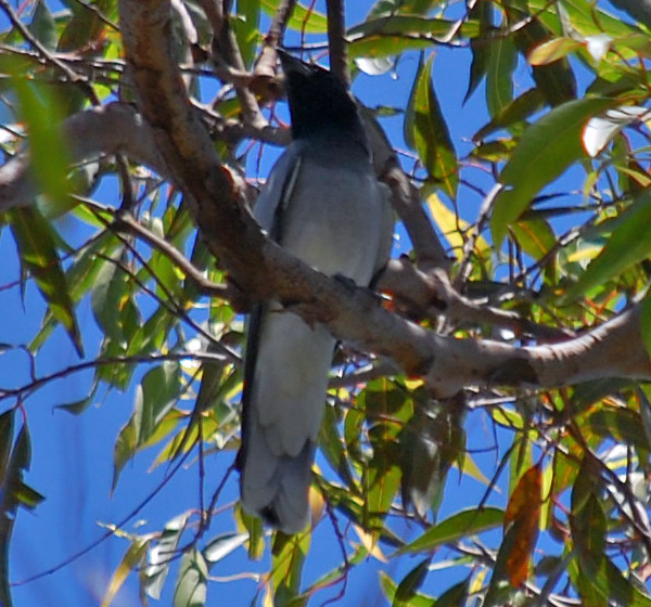 Australian Bird Quiz, Question 3 - Can you identify this bird?