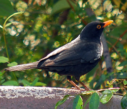 Bird Identification of Australian Birds - Sydney and Blue Mountains Bird Species - Common Blackbird - Turdus merula