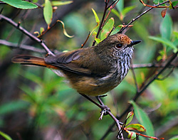 Bird Identification of Australian Birds - Sydney and Blue Mountains Bird Species - Brown Thornbill - Acanthiza pusilla
