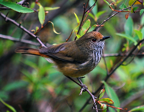 Brown Thornbill - Acanthiza pusilla