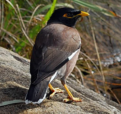 Bird Identification of Australian Birds - Sydney and Blue Mountains Bird Species - Common Myna - Indian Myna - Common Indian Myna - Acridotheres tristis