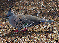 Bird Identification of Australian Birds - Sydney and Blue Mountains Bird Species - Crested Pigeon - Ocyphaps (Geophaps) lophotes
