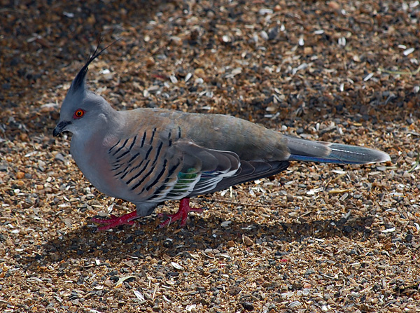 Crested Pigeon - Ocyphaps (Geophaps) lophotes