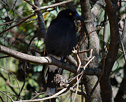 Bird Identification of Australian Birds - Sydney and Blue Mountains Bird Species - Pied Currawong - Strepera graculina