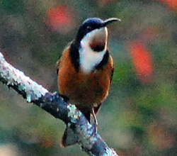 Bird Identification of Australian Birds - Sydney and Blue Mountains Bird Species - Eastern Spinebill - Acanthorhynchus tenuirostris