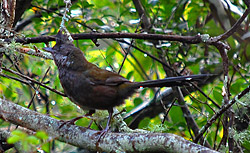 Bird Identification of Australian Birds - Sydney and Blue Mountains Bird Species - Eastern Whipbird - Psophodes olivaceus