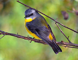 Bird Identification of Australian Birds - Sydney and Blue Mountains Bird Species - Eastern Yellow Robin - Eopsaltria australia
