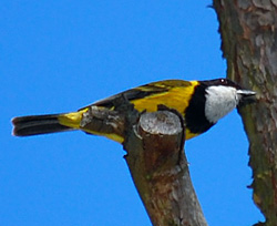Bird Identification of Australian Birds - Sydney and Blue Mountains Bird Species - Golden Whistler - Pachycephala pectoralis
