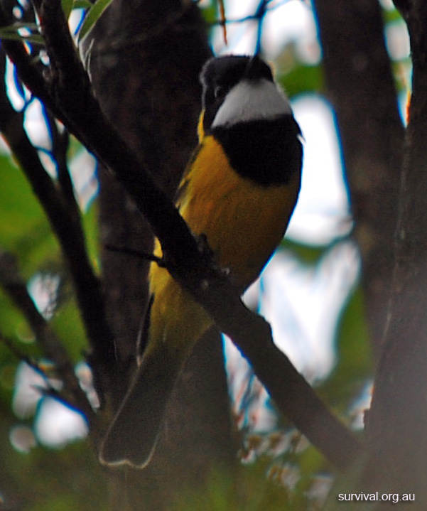 Australian Bird Quiz, Question 8 - Can you identify this bird?