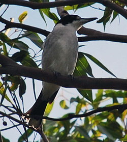 Bird Identification of Australian Birds - Sydney and Blue Mountains Bird Species - Grey Butcherbird - Cracticus torquatus