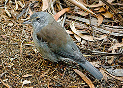 Bird Identification of Australian Birds - Sydney and Blue Mountains Bird Species - Grey Shrike-thrush - Colluricincla harmonica