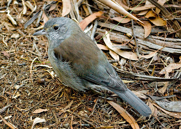Grey Shrike-thrush - Colluricincla harmonica