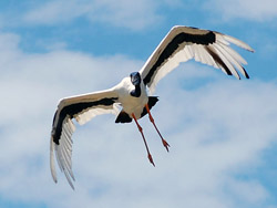 Bird Identification of Australian Birds - Sydney and Blue Mountains Bird Species - Black Necked Stork - Jabiru - Ephippiorhynchus asiaticus