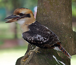 Bird Identification of Australian Birds - Sydney and Blue Mountains Bird Species - Laughing Kookaburra - Dacelo novaeguineae
