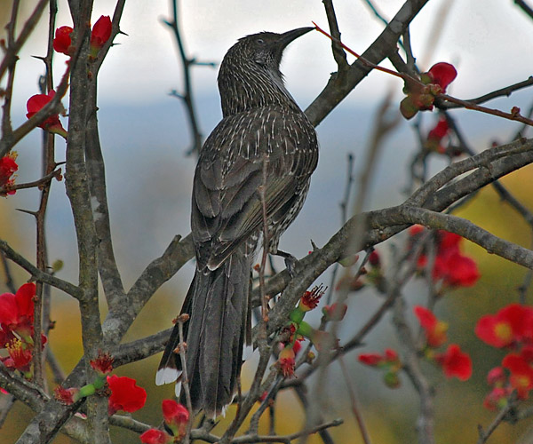 Little Wattlebird - Anthochaera chrysoptera
