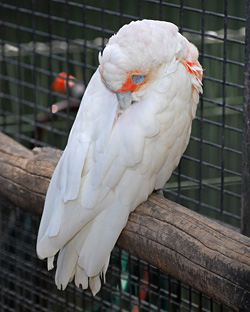 Bird Identification of Australian Birds - Sydney and Blue Mountains Bird Species - Long-billed Corella - Cacatua tenuirostris