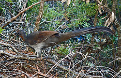 Bird Identification of Australian Birds - Sydney and Blue Mountains Bird Species - Superb Lyrebird - Menura alberti