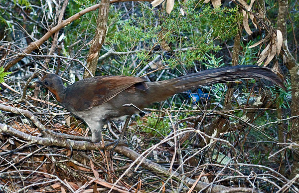 Superb Lyrebird - Menura alberti