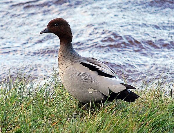 Australian Wood Duck - Maned Duck - Chenonetta jubata