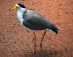 Bird Identification of Australian Birds - Sydney and Blue Mountains Bird Species - Masked Lapwing (Spurwing Plover) - Vanellus miles