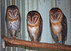 Bird Identification of Australian Birds - Sydney and Blue Mountains Bird Species - Masked Owl - Tyto novaehollandiae