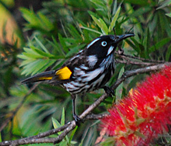Bird Identification of Australian Birds - Sydney and Blue Mountains Bird Species - New Holland Honeyeater - Phylidonyris novaehollandiae