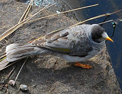Bird Identification of Australian Birds - Sydney and Blue Mountains Bird Species - Noisy Miner - Manorina melanocephala