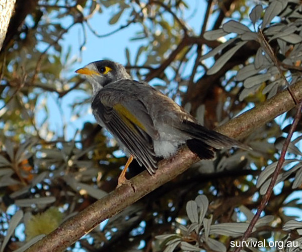 Australian Bird Quiz, Question 9 - Can you identify this bird?