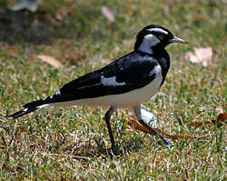 Bird Identification of Australian Birds - Sydney and Blue Mountains Bird Species - Magpie-lark (Peewee) - Grallina cyanoleuca