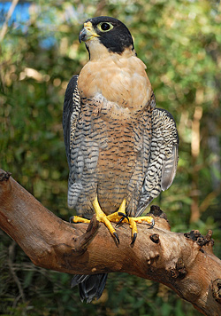 Bird Identification of Australian Birds - Sydney and Blue Mountains Bird Species - Peregrine Falcon - Falco Peregrinus