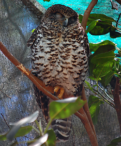 Bird Identification of Australian Birds - Sydney and Blue Mountains Bird Species - Powerful Owl - Ninox strenua