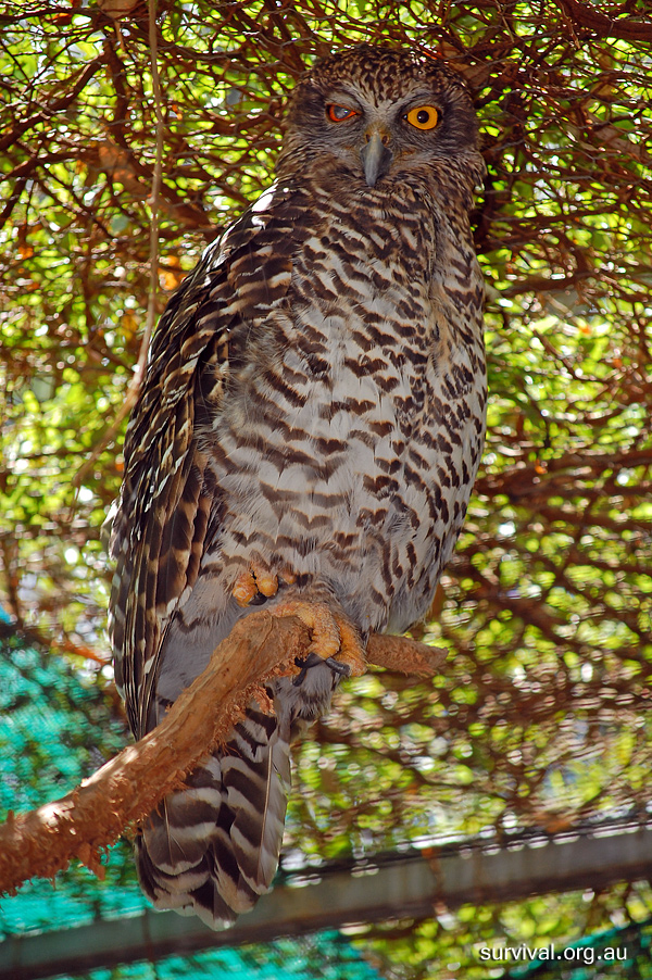 Powerful Owl - Ninox strenua