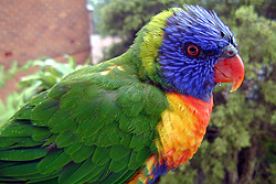 Bird Identification of Australian Birds - Sydney and Blue Mountains Bird Species - Rainbow Lorikeet - Trichoglossus rubritorquatus