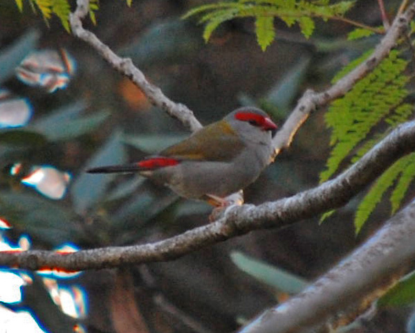 Red-browed Firetail - Red-browed Finch - Neochmia temporalis