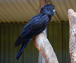Bird Identification of Australian Birds - Sydney and Blue Mountains Bird Species - Red-Tailed Black-Cockatoo - Calyptorhynchus banksii