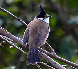 Bird Identification of Australian Birds - Sydney and Blue Mountains Bird Species - Red-whiskered Bulbul - Pycnonotus jocosus